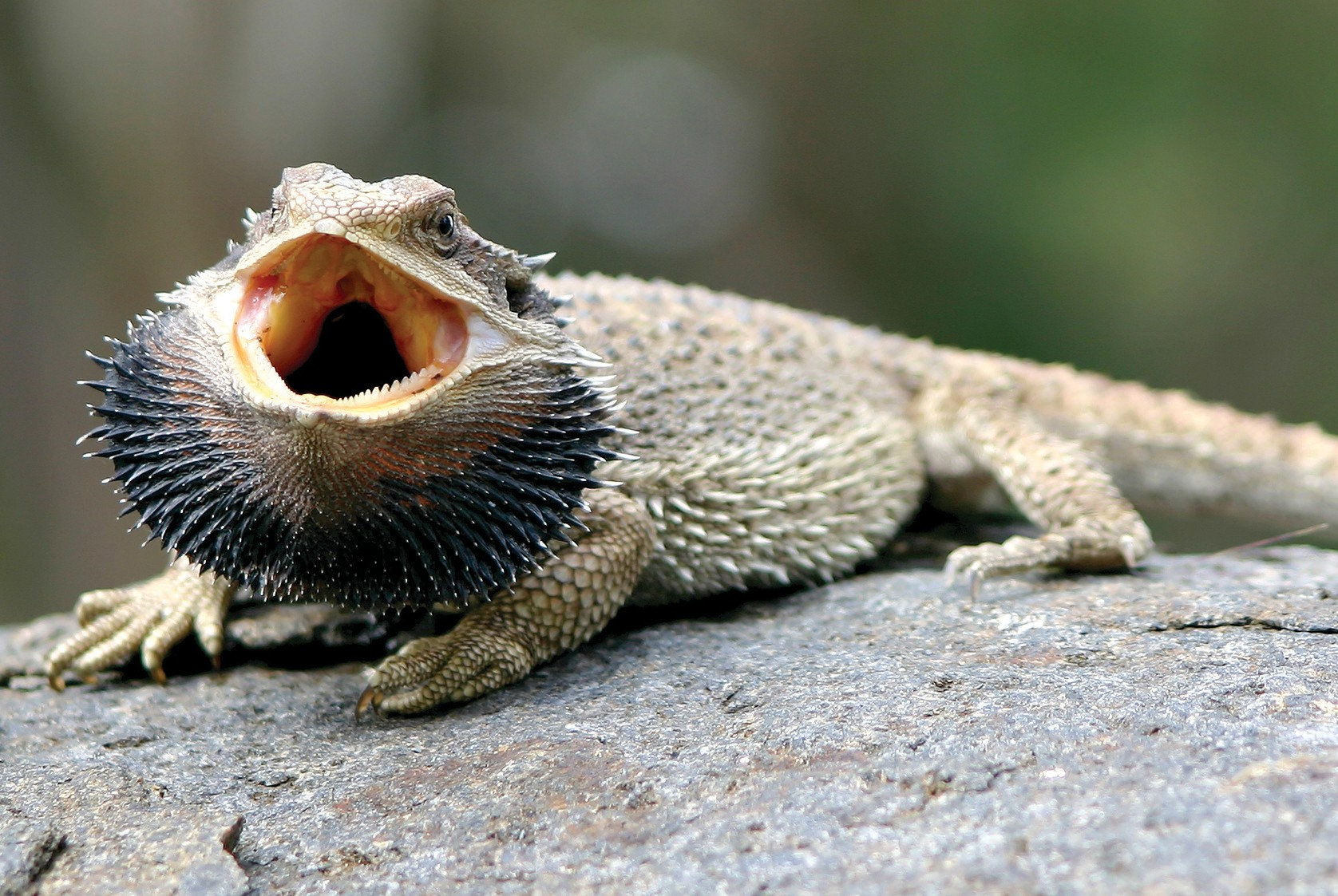 Bearded agama: maintenance, care, feeding and interesting facts 90